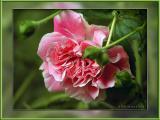 Wild Climbing Rose