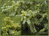 Tree of Heaven in Fruit w/close-up insert