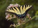 WV ~ Butterflies ~ Swallowtail Family