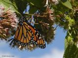 Monarch Butterflies ~ WV