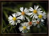 Small-flowered Asters