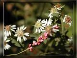 Lady's Thumb and Calico Asters