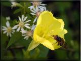 Evening Primrose, Asters, small Fly