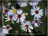 White Wood Asters
