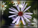 Asters of various sizes
