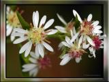 Calico Asters ~ Close Up