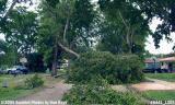 Hurricane Katrina damaged black olive tree on Sabal Drive, Miami Lakes, photo #6441