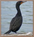 Cormoran à aigrettes (Île des Soeurs, 12 oct 2005)