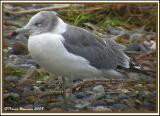 Goéland à queue noire (Black-tailed Gull) Charlotte, VT, 20 oct 2005