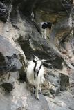 Bergziegen / mountain goats