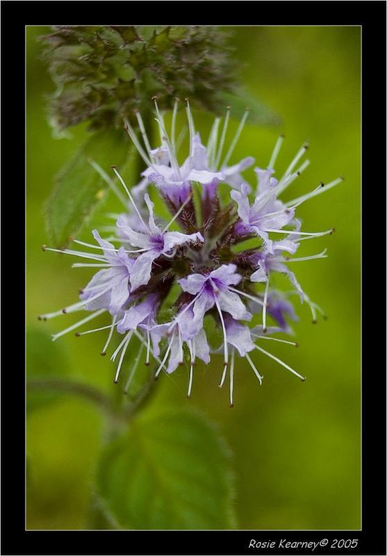 Nettle Flower.jpg