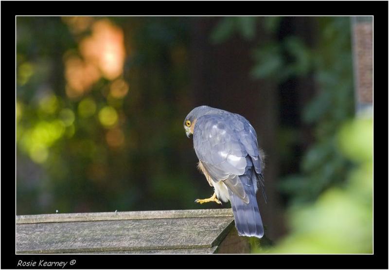 SparrowHawk.jpg