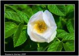 Dog rose 2.jpg