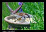 tree sparrow 1.jpg