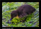 another duckling.jpg