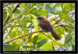 Cetti's Warbler.jpg