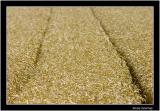 cornfield 3.jpg