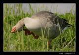 greylag Goose.JPG