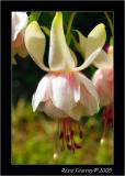 White Fusia.jpg