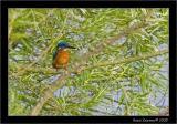 kingfisher.jpg
