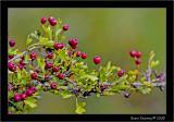 Hawthorne Berries.jpg