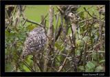 Little owl 2.jpg