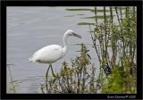 Little egret 1.jpg
