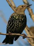Étourneau sansonnet - European starling