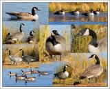 Canada Geese 2005 Series- 139 plus Photo's