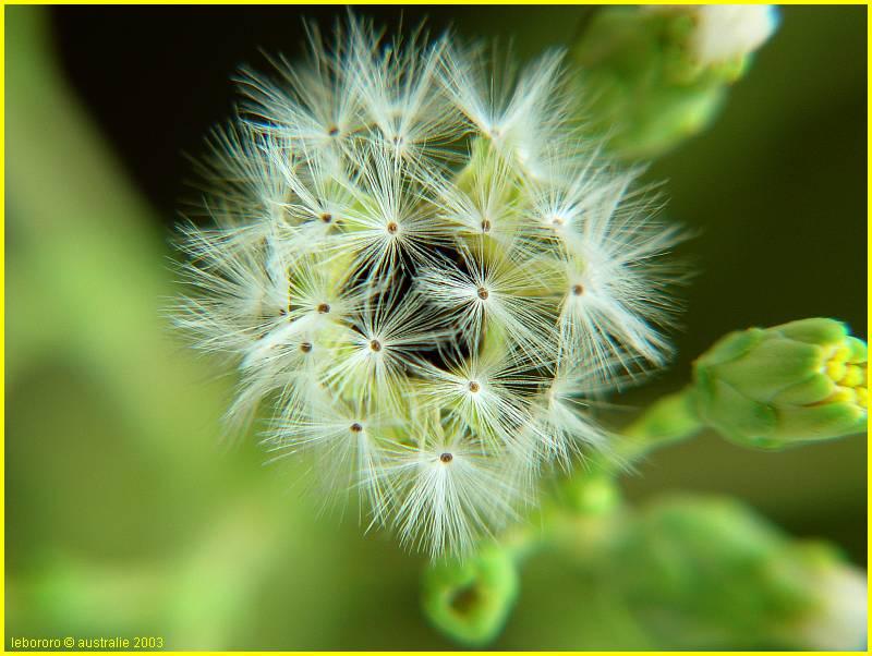 ma fleur de laitue