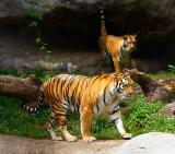 aug 13 two tigers