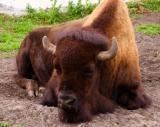 aug 13 bored bison