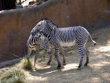 Amorous Grants Zebras