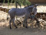Grevy zebra (Equus grevyi)