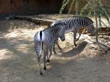 Grants Zebras