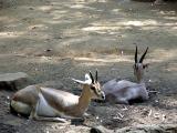 Gazells