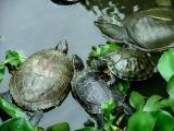 Temple Turtles