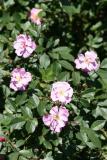 Rosa eglanteria