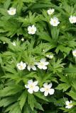 Anemone sylvestris - snowdrop windflower