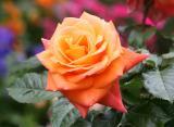 Versigny Roses