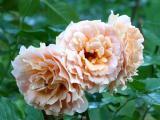 Brandy Roses