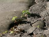 Elm Tree Saplings in Asphalt Playground Mounds
