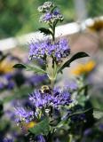 Bluebeard - Caryopteris