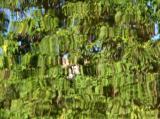 Reflection - Catalpa Tree