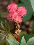 Castor Bean Flower