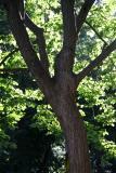 Broadleaf Elm Tree Foliage