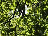 Broad Leaf Elm Foliage