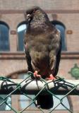 Pigeon - Left Profile