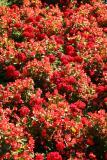 Begonias & Geraniums - St Mark's Church Garden