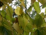 Elm Foliage